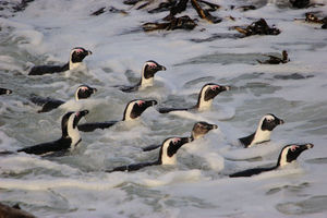 Pinguins africans.jpg